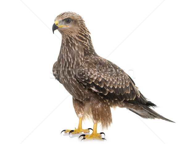 Common buzzard in studio Stock photo © cynoclub