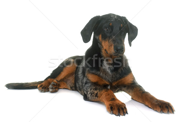 young beauceron in studio Stock photo © cynoclub