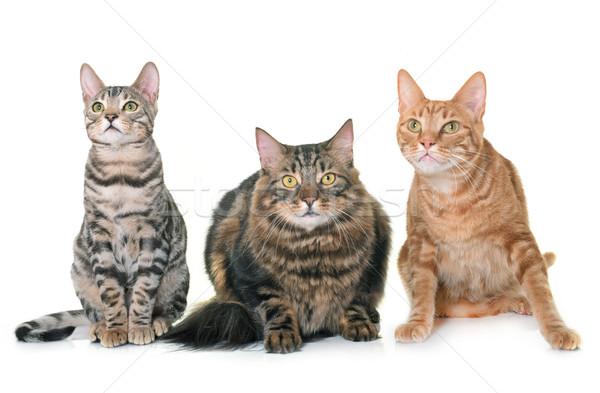 Stock photo: three cats in studio