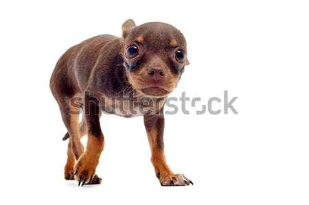 Puppy bang bang oren beneden witte Stockfoto © cynoclub