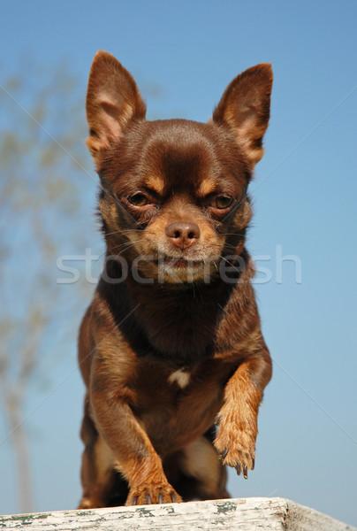 Barna portré csokoládé fajtiszta mexikói kutya Stock fotó © cynoclub