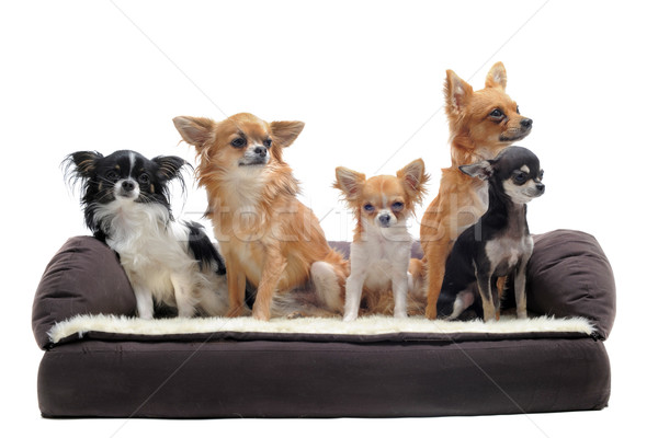 Сток-фото: диван · Cute · белый · дома · собака · моде