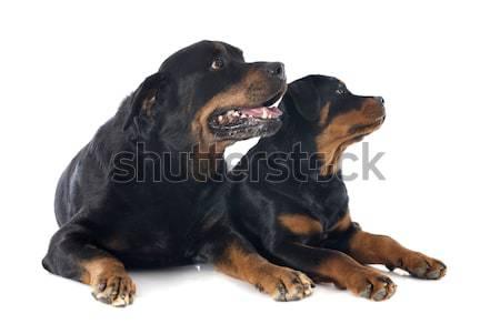 肖像 子犬 成人 ロットワイラー 白 ストックフォト © cynoclub