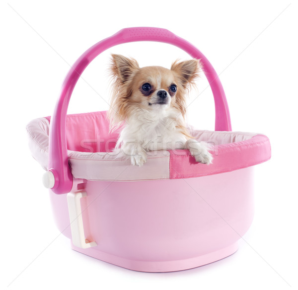 chihuahua in cosy Stock photo © cynoclub