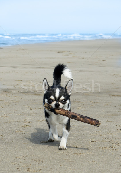 chihuahua on the beach Stock photo © cynoclub
