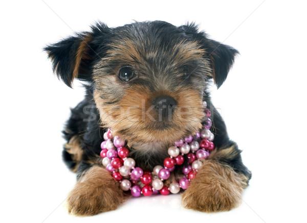 puppy yorkshire terrier Stock photo © cynoclub