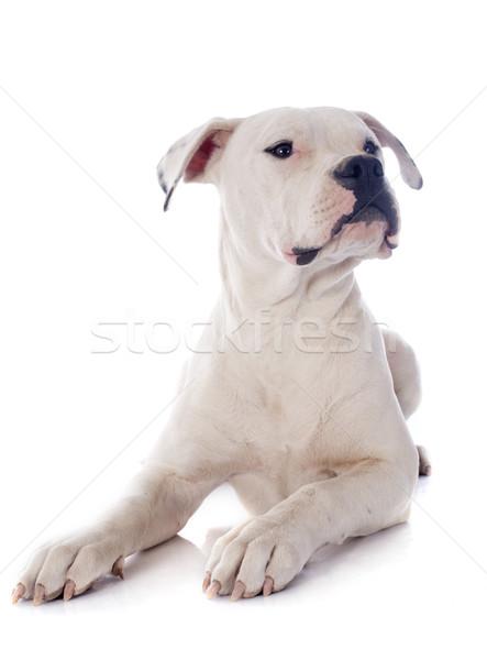 щенков Американский бульдог белый собака животного студию Сток-фото © cynoclub