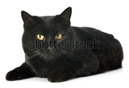 Gato preto branco gato estúdio animal de estimação fundo branco Foto stock © cynoclub