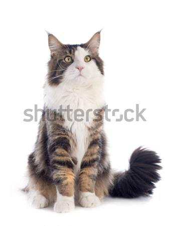 Maine kot portret biały Zdjęcia stock © cynoclub
