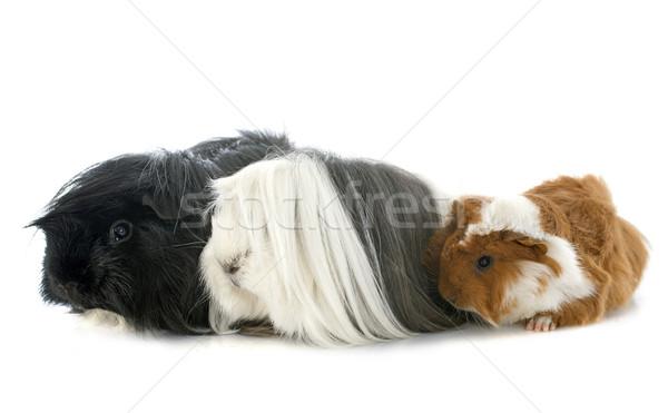 Stok fotoğraf: Gine · domuzlar · portre · beyaz · genç · hayvan