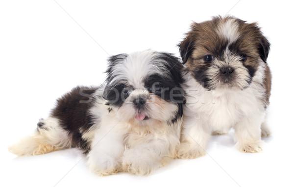 puppies shitzu Stock photo © cynoclub