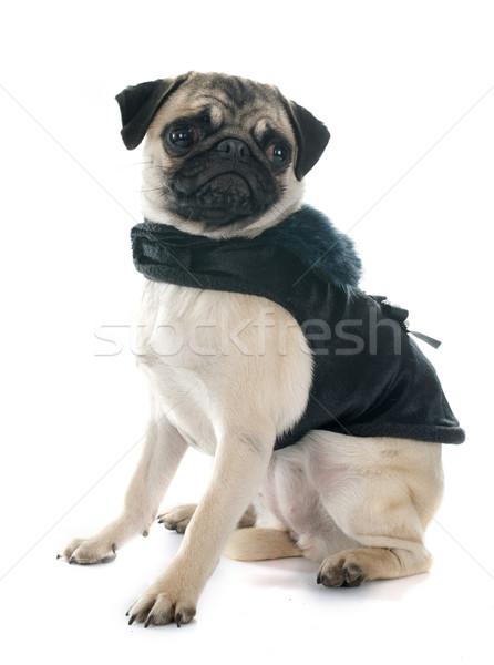 dressed puppy pug Stock photo © cynoclub