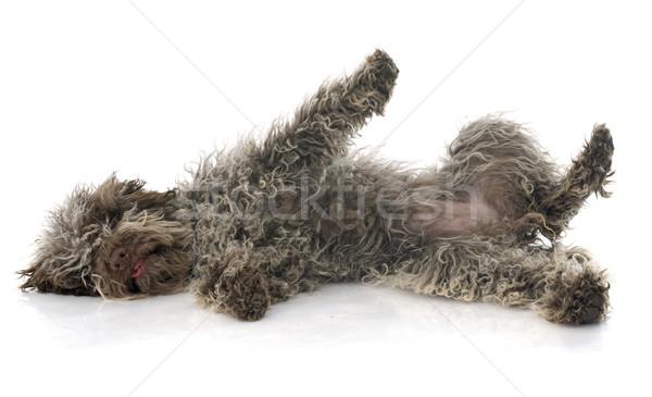 puppy Lagotto Romagnolo Stock photo © cynoclub