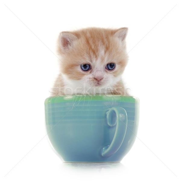 persian kitten Stock photo © cynoclub