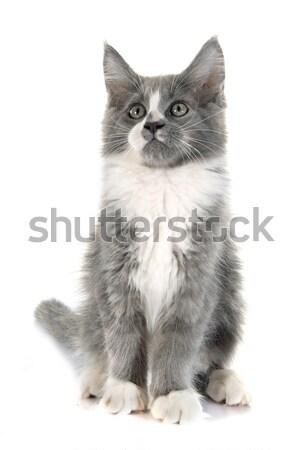 Maine gattino bianco maschio pet Foto d'archivio © cynoclub