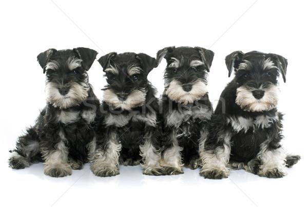 Yavru minyatür schnauzer beyaz köpek siyah Stok fotoğraf © cynoclub