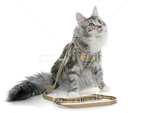 maine coon cat and harness Stock photo © cynoclub