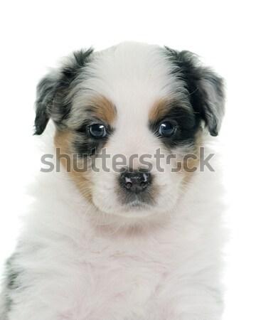 Foto d'archivio: Rosolare · pastore · bianco · cane · giovani