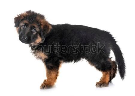 Wire haired dachshund Stock photo © cynoclub