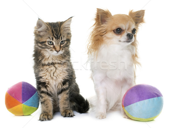 maine coon kitten and chihuahua Stock photo © cynoclub