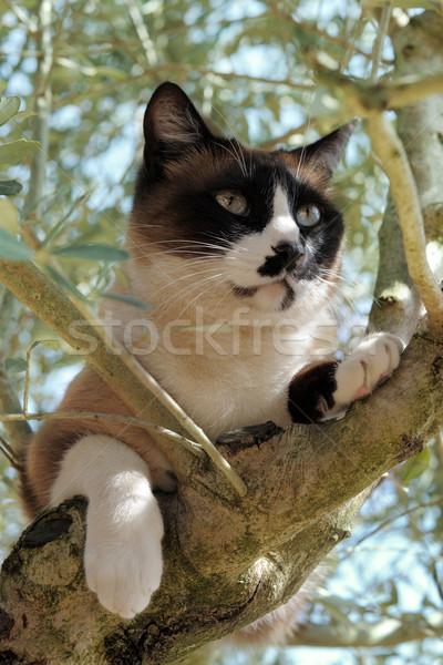 Sziámi macska fa gyönyörű fajtiszta természet macska Stock fotó © cynoclub