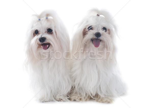 maltese dogs Stock photo © cynoclub