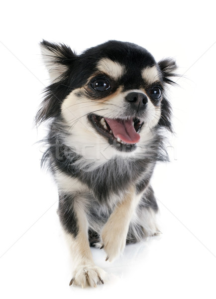 smiling chihuahua Stock photo © cynoclub
