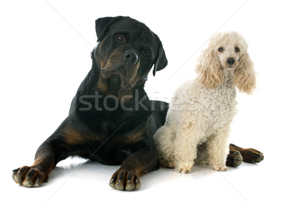 rottweiler and poodle  Stock photo © cynoclub