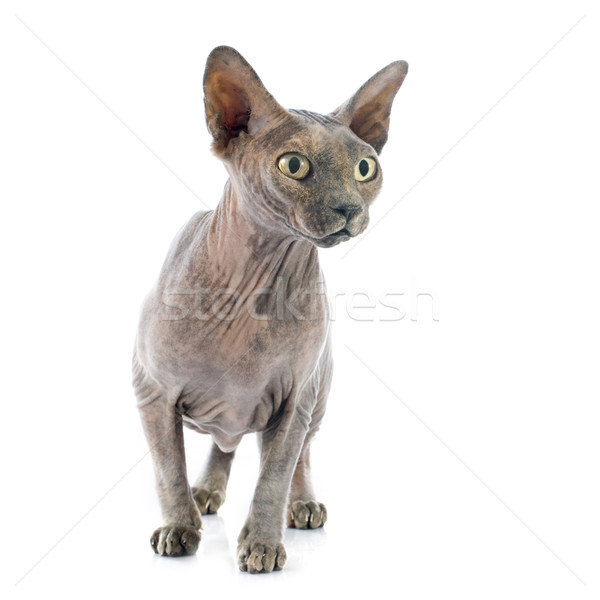 スフィンクス 毛のない 猫 白 皮膚 ストックフォト © cynoclub