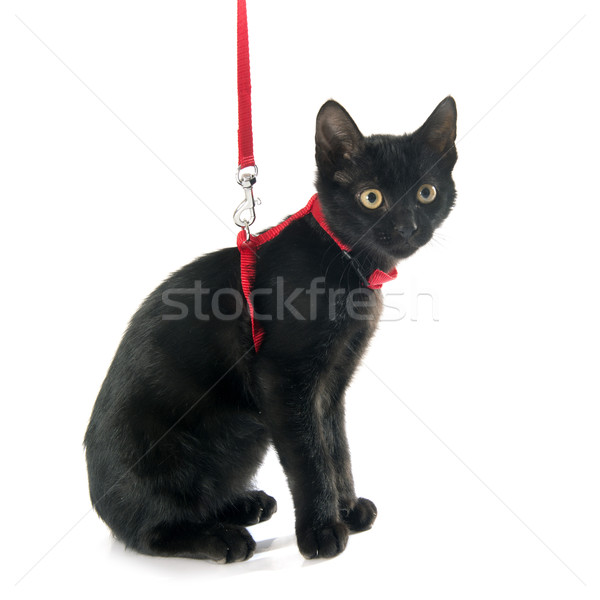 black kitten and harness Stock photo © cynoclub