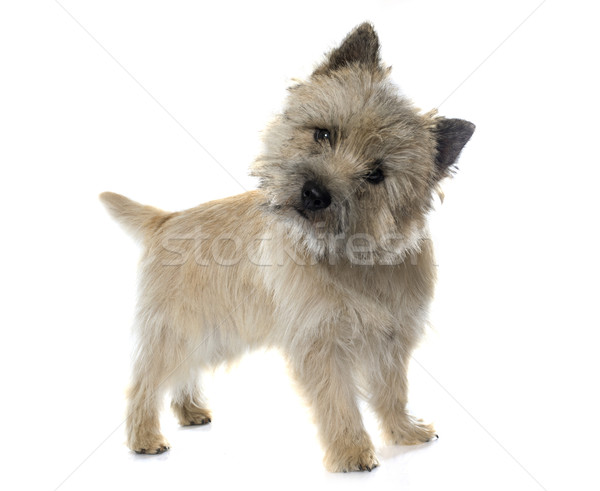 Stock photo: purebred cairn terrier