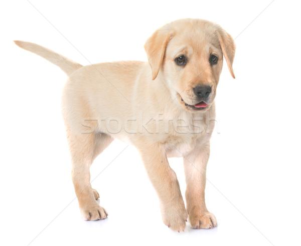 Stockfoto: Puppy · labrador · retriever · witte · hond · jonge · huisdier