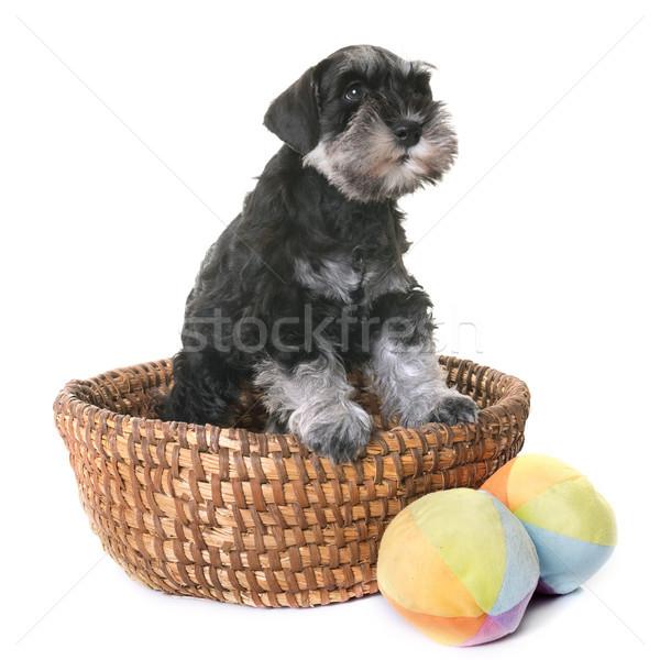 Zdjęcia stock: Szczeniak · miniatura · biały · psa · zabawki