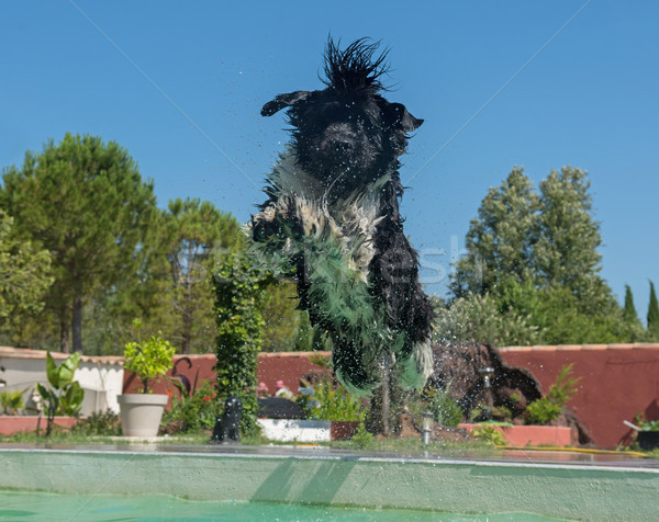 newfoundland dog in swimming pool Stock photo © cynoclub