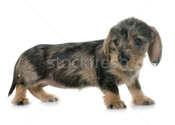 puppy Wire haired dachshund Stock photo © cynoclub