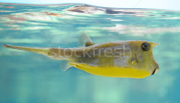 longhorn cowfish Stock photo © cynoclub