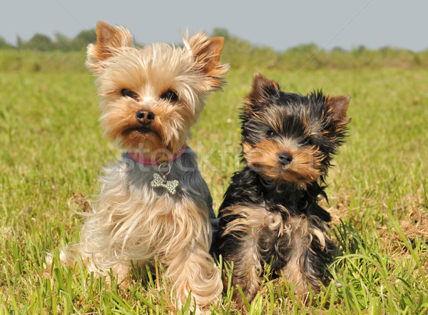 Yorkshire terrier cachorro retrato femenino cute Foto stock © cynoclub