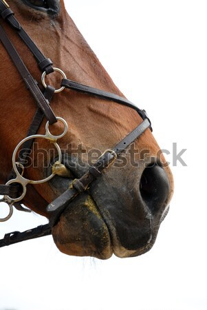 horse bridle Stock photo © cynoclub