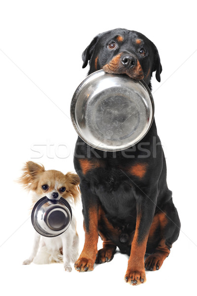 rottweiler chihuahua and food bowl Stock photo © cynoclub