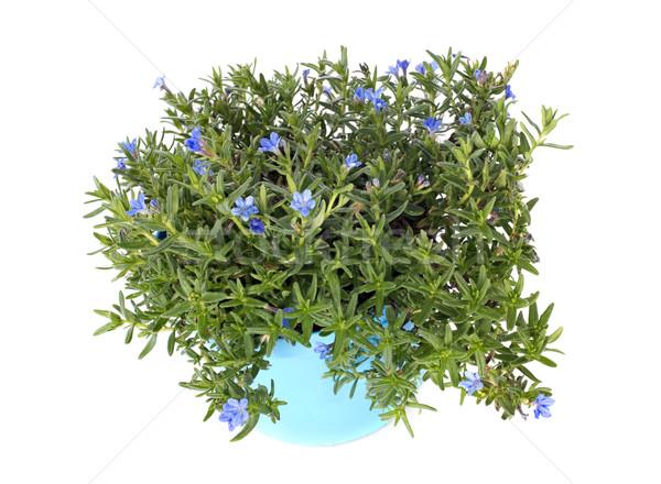 небесный синий цветы белый цветок природы Сток-фото © cynoclub