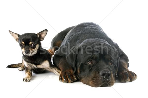 Photo stock: Rottweiler · amis · jeunes · blanche · studio · chiot