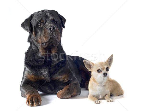 rottweiler and chihuahua Stock photo © cynoclub