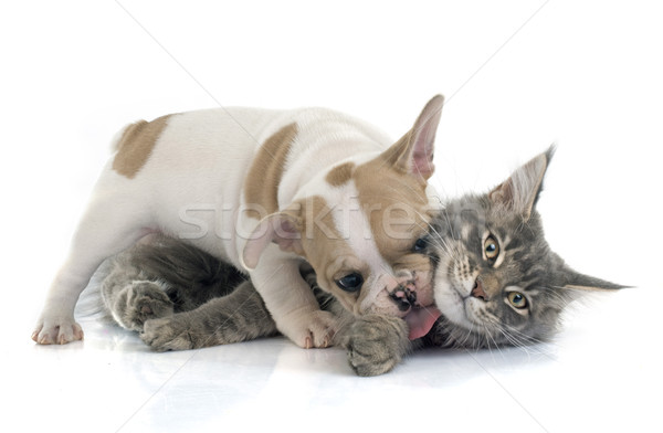 puppy french bulldog and cat Stock photo © cynoclub