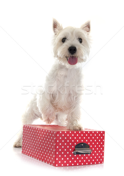 west highland terrier Stock photo © cynoclub