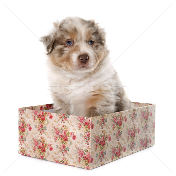Cachorro australiano pastor blanco jóvenes Foto stock © cynoclub