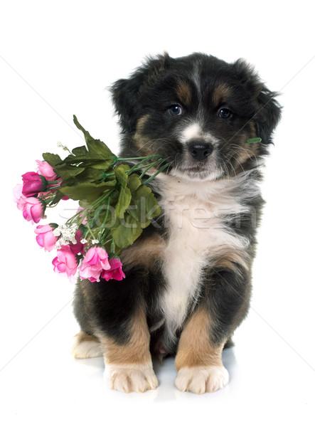 puppy australian shepherd and flowers Stock photo © cynoclub