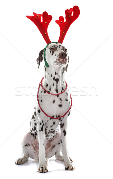 dressed female dalmatian Stock photo © cynoclub