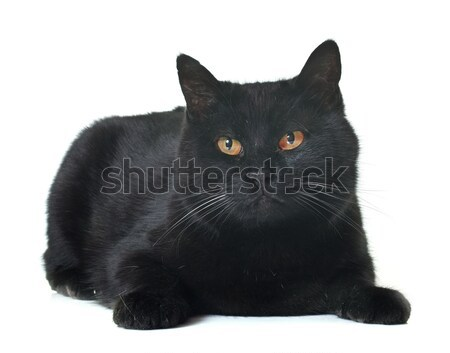 adult black cat Stock photo © cynoclub