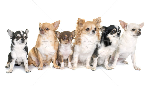 Stock photo: group of chihuahuas