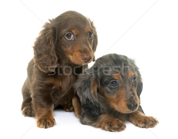 Cachorros dachshund estudio blanco perro animales Foto stock © cynoclub